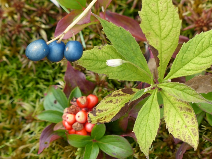 Blue Bead Lily and Bunchberry